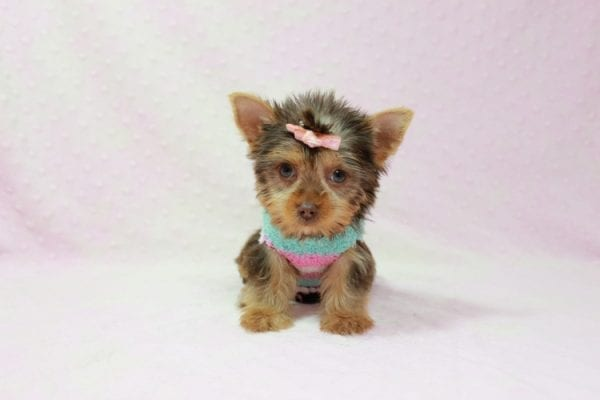 Chloe - Teacup Yorkie Has Found A Loving Home With Martin In Henderson, NV 89011!-11323