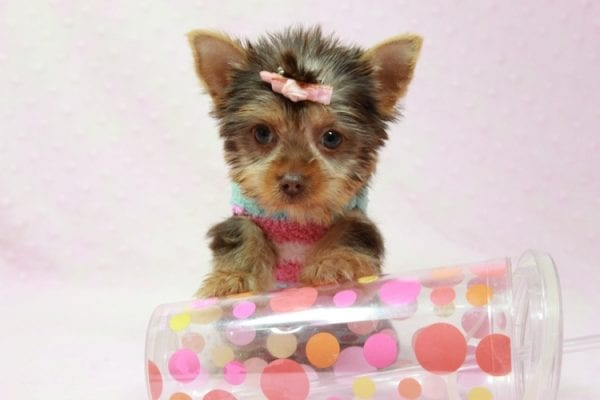 Chloe - Teacup Yorkie Has Found A Loving Home With Martin In Henderson, NV 89011!-11327