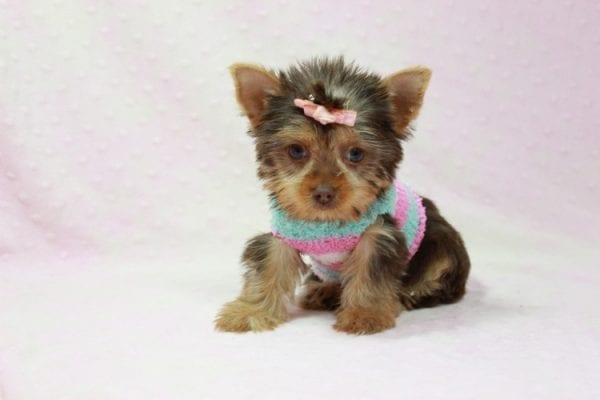 Chloe - Teacup Yorkie Has Found A Loving Home With Martin In Henderson, NV 89011!-11328