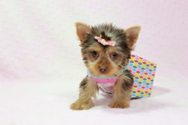 Chloe - Teacup Yorkie Has Found A Loving Home With Martin In Henderson, NV 89011!-11322