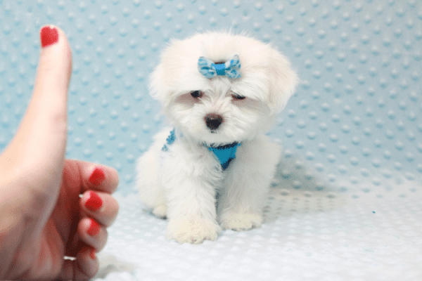 Frosty - Teacup Maltese Puppy has found a good loving home with SHELLY FROM BAKERSFIELD, CA 93306-11796