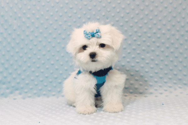 Frosty - Teacup Maltese Puppy has found a good loving home with SHELLY FROM BAKERSFIELD, CA 93306-11800