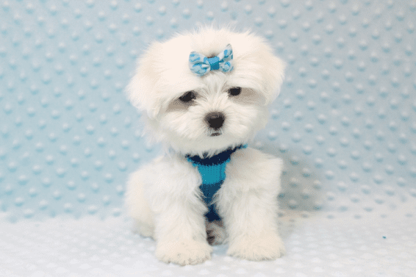 Frosty - Teacup Maltese Puppy has found a good loving home with SHELLY FROM BAKERSFIELD, CA 93306-11795