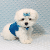 Frosty - Teacup Maltese Puppy has found a good loving home with SHELLY FROM BAKERSFIELD, CA 93306-11798