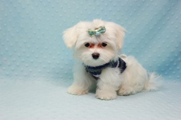 Giorgio Armani - Teacup Maltese Found his Loving home with George from Woodland Hills CA-11815