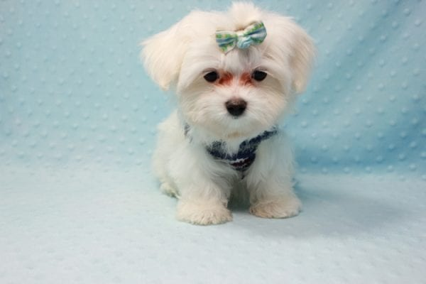 Giorgio Armani - Teacup Maltese Found his Loving home with George from Woodland Hills CA-11816