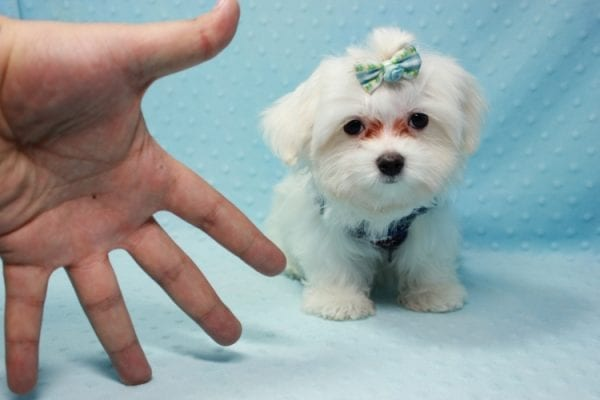 Giorgio Armani - Teacup Maltese Found his Loving home with George from Woodland Hills CA-11817