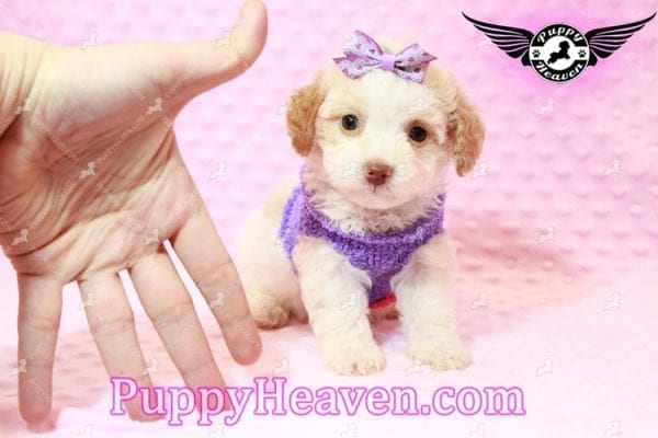 Goldilocks - Teacup Maltipoo Puppy has found a good loving home with Gina from Las Vegas, NV 89135-7933