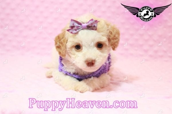 Goldilocks - Teacup Maltipoo Puppy has found a good loving home with Gina from Las Vegas, NV 89135-7934