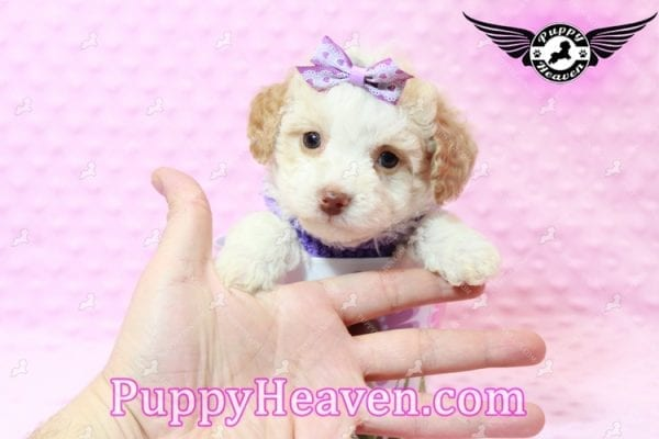 Goldilocks - Teacup Maltipoo Puppy has found a good loving home with Gina from Las Vegas, NV 89135-7939