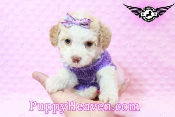 Goldilocks - Teacup Maltipoo Puppy has found a good loving home with Gina from Las Vegas, NV 89135-7936