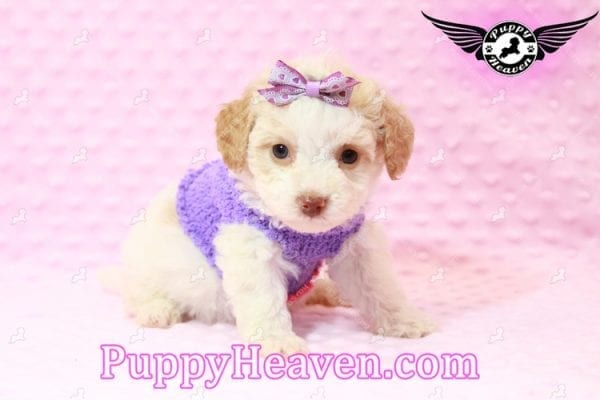 Goldilocks - Teacup Maltipoo Puppy has found a good loving home with Gina from Las Vegas, NV 89135-7937