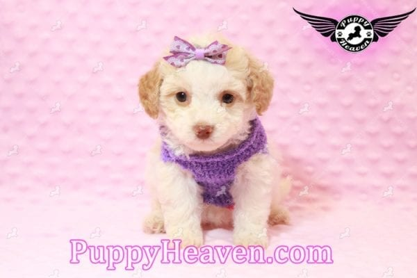 Goldilocks - Teacup Maltipoo Puppy has found a good loving home with Gina from Las Vegas, NV 89135-7932