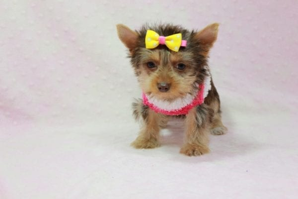 Katy - Teacup Yorkie Puppy found her loving home with Marly from Woodland Hills CA-11353
