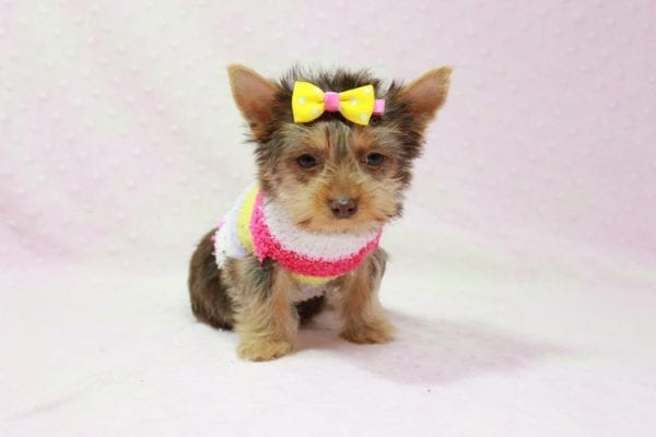 Katy - Teacup Yorkie Puppy found her loving home with Marly from Woodland Hills CA-11355