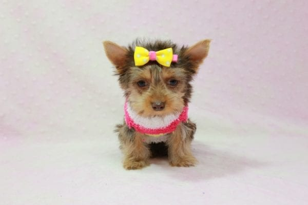 Katy - Teacup Yorkie Puppy found her loving home with Marly from Woodland Hills CA-11352