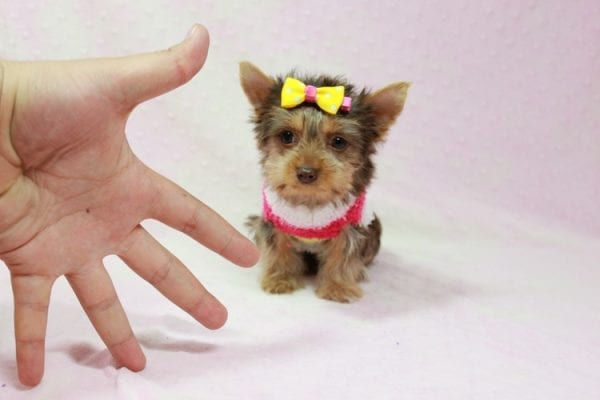 Katy - Teacup Yorkie Puppy found her loving home with Marly from Woodland Hills CA-11354