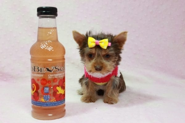 Katy - Teacup Yorkie Puppy found her loving home with Marly from Woodland Hills CA-0