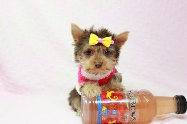 Katy - Teacup Yorkie Puppy found her loving home with Marly from Woodland Hills CA-11356