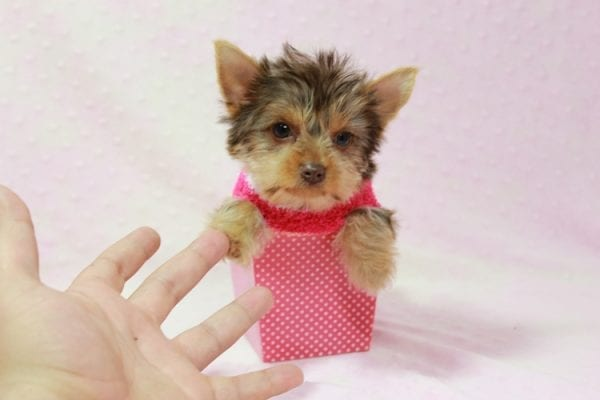 Katy - Teacup Yorkie Puppy found her loving home with Marly from Woodland Hills CA-11351