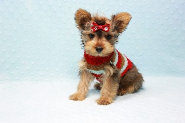 Kevin Durant - Teacup Yorkie Puppy In L.A Found A New Loving Home With Bryan From West Hills Ca 91307-11653