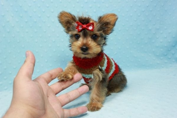 Kevin Durant - Teacup Yorkie Puppy In L.A Found A New Loving Home With Bryan From West Hills Ca 91307-0