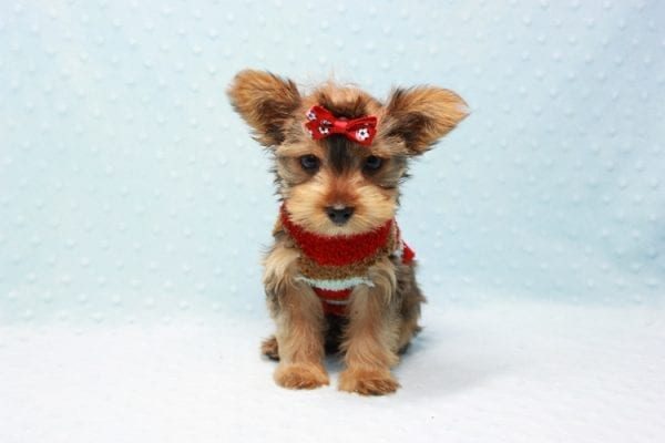 Kevin Durant - Teacup Yorkie Puppy In L.A Found A New Loving Home With Bryan From West Hills Ca 91307-11652