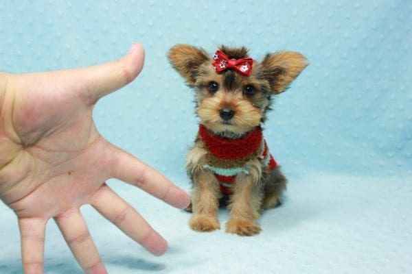 Kevin Durant - Teacup Yorkie Puppy In L.A Found A New Loving Home With Bryan From West Hills Ca 91307-11654
