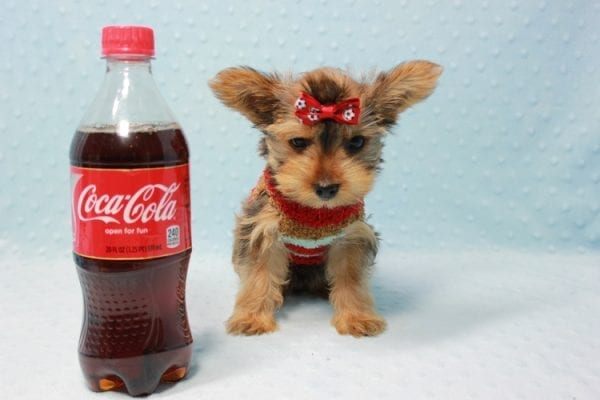 Kevin Durant - Teacup Yorkie Puppy In L.A Found A New Loving Home With Bryan From West Hills Ca 91307-11657