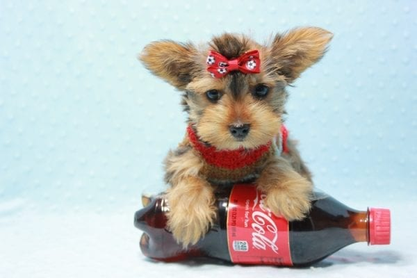 Kevin Durant - Teacup Yorkie Puppy In L.A Found A New Loving Home With Bryan From West Hills Ca 91307-11651