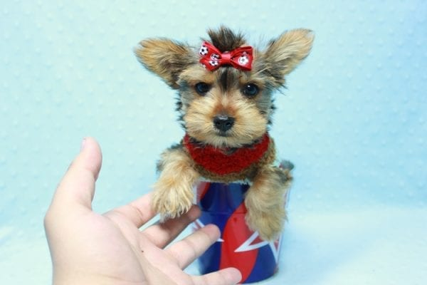 Kevin Durant - Teacup Yorkie Puppy In L.A Found A New Loving Home With Bryan From West Hills Ca 91307-11656