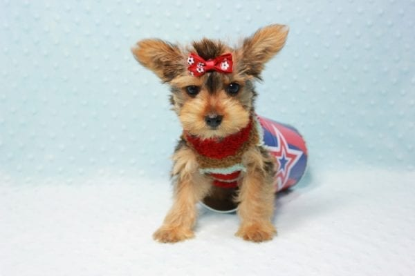 Kevin Durant - Teacup Yorkie Puppy In L.A Found A New Loving Home With Bryan From West Hills Ca 91307-11655