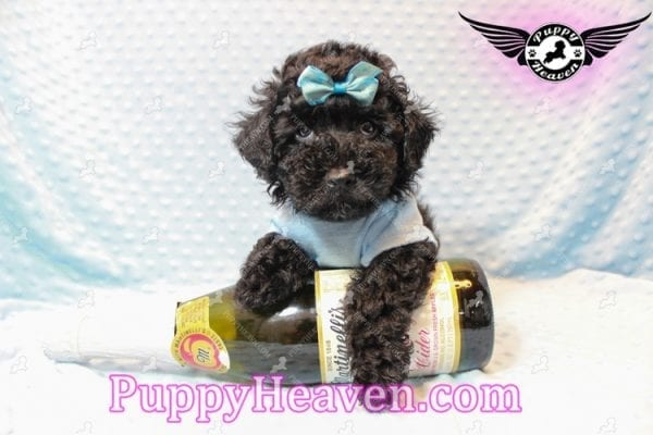 Kids' Choice - Toy Maltipoo Puppy has found a good loving home with Jayson from Henderson, NV 89052-11289