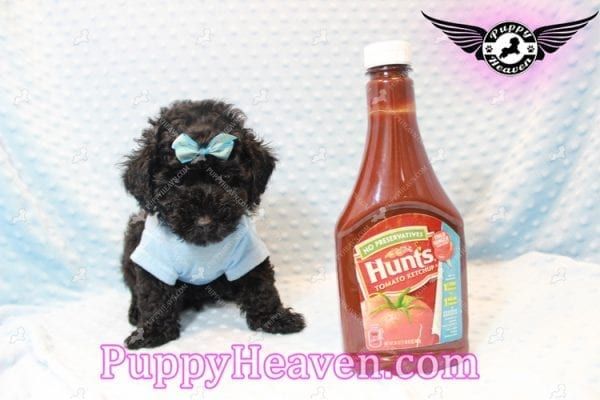 Kids' Choice - Toy Maltipoo Puppy has found a good loving home with Jayson from Henderson, NV 89052-0