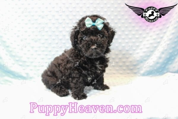 Kids' Choice - Toy Maltipoo Puppy has found a good loving home with Jayson from Henderson, NV 89052-11288