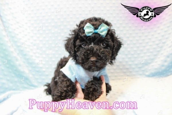 Kids' Choice - Toy Maltipoo Puppy has found a good loving home with Jayson from Henderson, NV 89052-11290