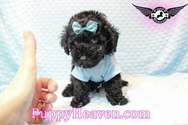 Kids' Choice - Toy Maltipoo Puppy has found a good loving home with Jayson from Henderson, NV 89052-11286
