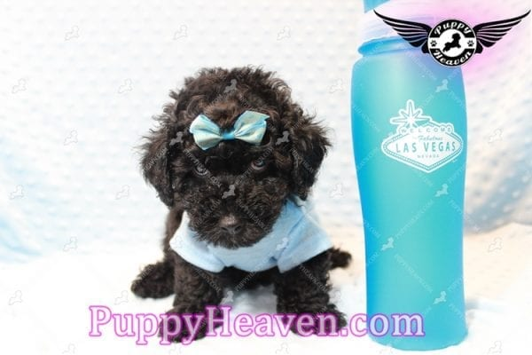 Kids' Choice - Toy Maltipoo Puppy has found a good loving home with Jayson from Henderson, NV 89052-11287