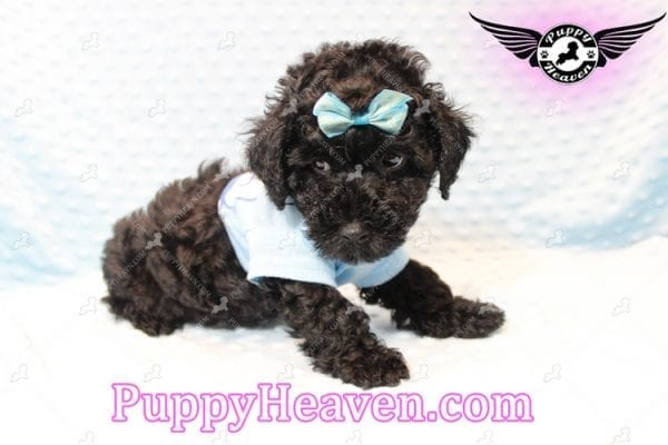 Kids' Choice - Toy Maltipoo Puppy has found a good loving home with Jayson from Henderson, NV 89052-11285