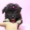 Kit Kat Pomtese Puppy Has Found A Loving Home With Roberto & Erika in Bullhead City, AZ!-11841