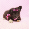 Kit Kat Pomtese Puppy Has Found A Loving Home With Roberto & Erika in Bullhead City, AZ!-0
