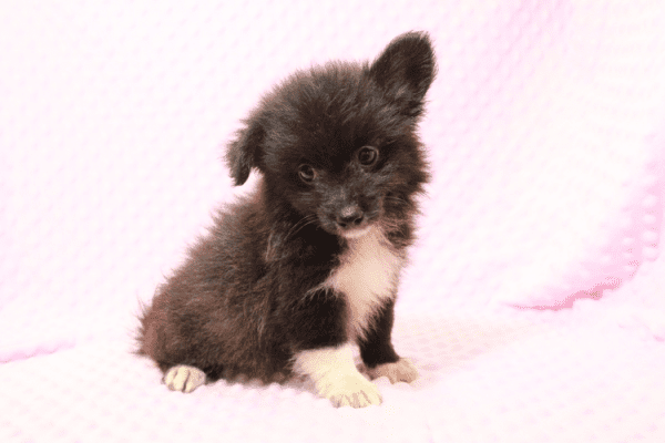Kit Kat Pomtese Puppy Has Found A Loving Home With Roberto & Erika in Bullhead City, AZ!-11838