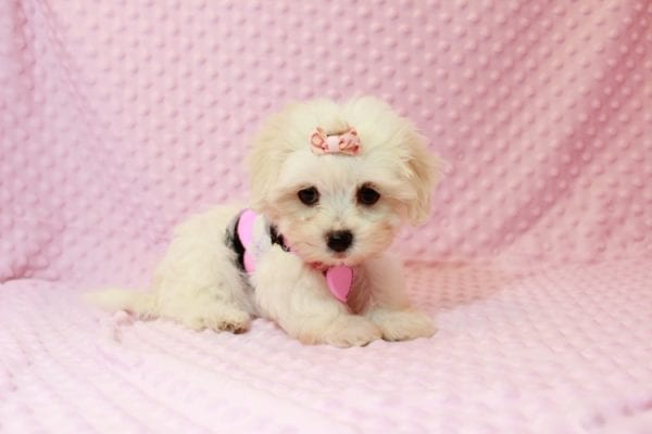Little Lady - Malshi Puppy In Las Vegas Has Found A Loving Home With Joan in Henderson, NV!-11578