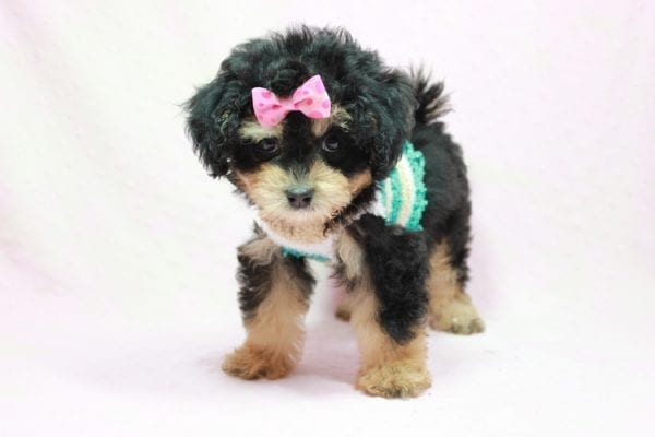 Lovely - Toy Yorkie Poo Puppy In L.A Found A New loving Home With Maya From Thousand Oaks CA-11496