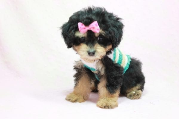 Lovely - Toy Yorkie Poo Puppy In L.A Found A New loving Home With Maya From Thousand Oaks CA-11497