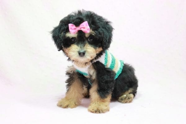 Lovely - Toy Yorkie Poo Puppy In L.A Found A New loving Home With Maya From Thousand Oaks CA-11498
