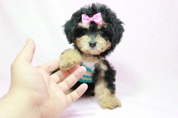 Lovely - Toy Yorkie Poo Puppy In L.A Found A New loving Home With Maya From Thousand Oaks CA-11502