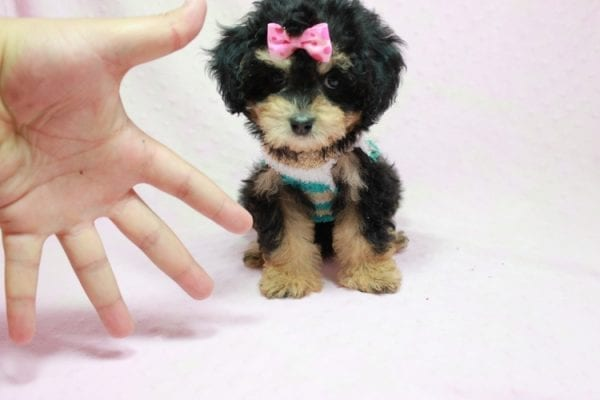 Lovely - Toy Yorkie Poo Puppy In L.A Found A New loving Home With Maya From Thousand Oaks CA-11501