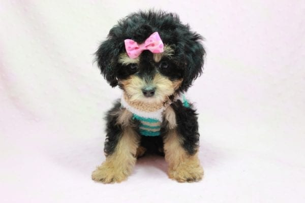 Lovely - Toy Yorkie Poo Puppy In L.A Found A New loving Home With Maya From Thousand Oaks CA-11495