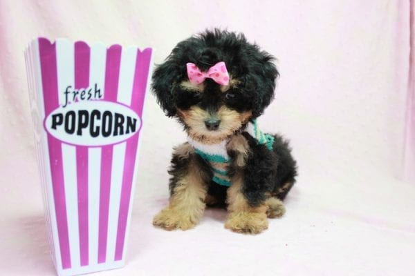 Lovely - Toy Yorkie Poo Puppy In L.A Found A New loving Home With Maya From Thousand Oaks CA-0
